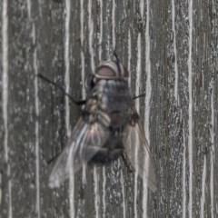Rutilia (Donovanius) sp. (genus & subgenus) (A Bristle Fly) at Bonython, ACT - 19 Dec 2019 by WarrenRowland