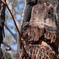 Pogona barbata (Eastern Bearded Dragon) at Red Hill Nature Reserve - 20 Jan 2020 by JackyF