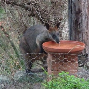 Wallabia bicolor at Brogo, NSW - 15 Jan 2020