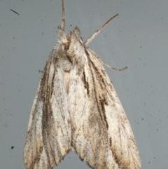 Ecnomodes sagittaria (A Notodontid Moth) at Lilli Pilli, NSW - 16 Jan 2020 by jbromilow50