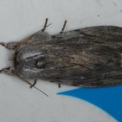Destolmia lineata (Destolmia lineata) at Lilli Pilli, NSW - 16 Jan 2020 by jbromilow50