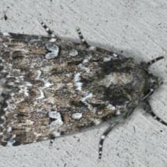 Ectopatria horologa (A Noctuid Moth) at Lilli Pilli, NSW - 16 Jan 2020 by jbromilow50