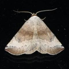 Mataeomera mesotaenia (Mataeomera mesotaenia) at Lilli Pilli, NSW - 16 Jan 2020 by jbromilow50