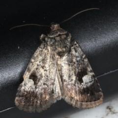 Thoracolopha verecunda (TBC) at Lilli Pilli, NSW - 16 Jan 2020 by jbromilow50