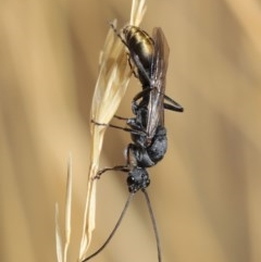 Myrmecia piliventris (Golden tail bull ant) at ANBG - 18 Jan 2020 by TimL