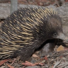 Tachyglossus aculeatus (Short-beaked Echidna) at ANBG - 17 Jan 2020 by Tim L