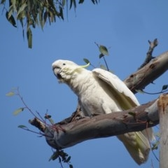 Cacatua galerita (Sulphur-crested Cockatoo) at Mount Mugga Mugga - 18 Jan 2020 by Mike