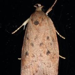 Euchaetis cryptorrhoda (Wingia Group Moth) at Lilli Pilli, NSW - 17 Jan 2020 by jbromilow50