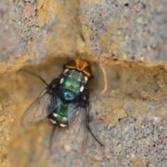 Rutilia (Ameniamima) argentifera (A Bristle fly) at Wamboin, NSW - 3 Jan 2020 by natureguy