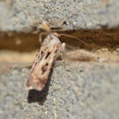 Agrotis munda (Brown Cutworm) at Wamboin, NSW - 3 Jan 2020 by natureguy