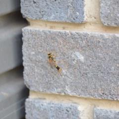 Sceliphron laetum (Common mud dauber wasp) at Wamboin, NSW - 3 Jan 2020 by natureguy