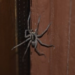 Lycosidae sp. (family) (Unidentified wolf spider) at Wamboin, NSW - 3 Jan 2020 by natureguy