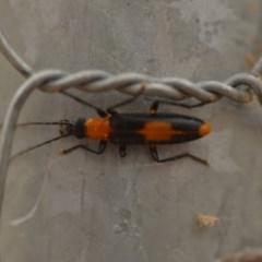 Copidita sp. (genus) (Oedemerid beetle) at Wamboin, NSW - 4 Jan 2020 by natureguy