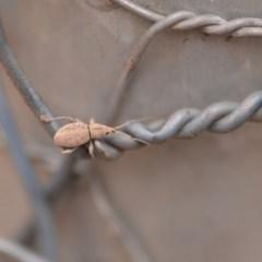 Merimnetes sp. (genus) (A weevil) at Wamboin, NSW - 4 Jan 2020 by natureguy