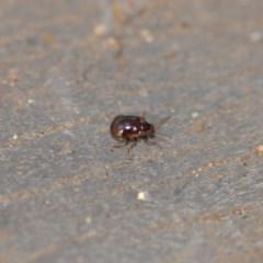 Rhyparida sp. (genus) (Leaf beetle) at Wamboin, NSW - 7 Jan 2020 by natureguy