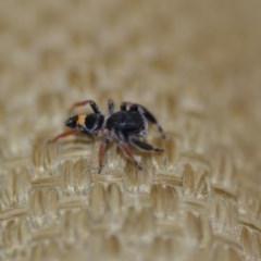 Apricia jovialis (Jovial jumping spider) at Wamboin, NSW - 8 Jan 2020 by natureguy