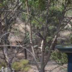 Caligavis chrysops (Yellow-faced Honeyeater) at Wamboin, NSW - 9 Jan 2020 by natureguy