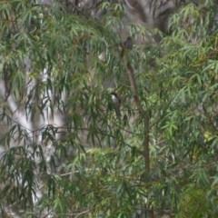 Melithreptus lunatus (White-naped Honeyeater) at Wamboin, NSW - 9 Jan 2020 by natureguy