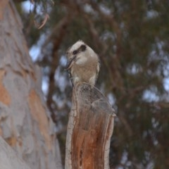 Dacelo novaeguineae (Laughing Kookaburra) at Wamboin, NSW - 9 Jan 2020 by natureguy