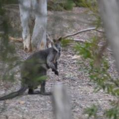 Wallabia bicolor (Swamp Wallaby) at Wamboin, NSW - 9 Jan 2020 by natureguy