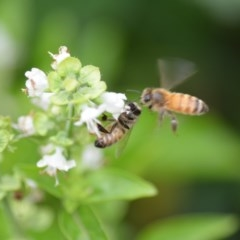 Apis mellifera (European honey bee) at Wamboin, NSW - 11 Jan 2020 by natureguy