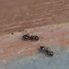 Crematogaster sp. (genus) (Acrobat ant, Cocktail ant) at Wamboin, NSW - 11 Jan 2020 by natureguy