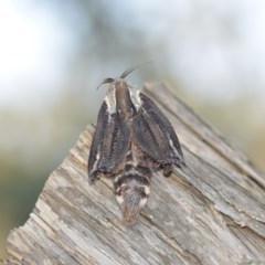Endoxyla encalypti (Wattle Goat Moth) at Wamboin, NSW - 12 Jan 2020 by natureguy