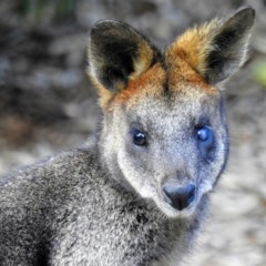 Wallabia bicolor (Swamp Wallaby) at ANBG - 30 Aug 2019 by HelenCross
