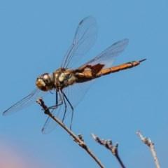 Tramea loewii (Common Glider) at Chapman, ACT - 21 Jan 2020 by SWishart