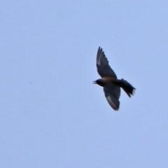 Artamus cyanopterus (Dusky Woodswallow) at Gigerline Nature Reserve - 21 Jan 2020 by RodDeb