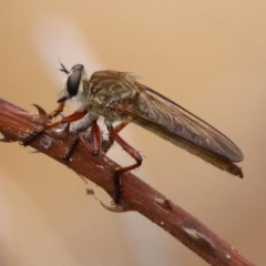 Colepia ingloria (A robber fly) at Gigerline Nature Reserve - 21 Jan 2020 by RodDeb