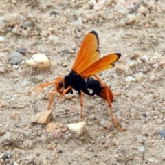 Cryptocheilus bicolor (Orange Spider Wasp) at Gigerline Nature Reserve - 21 Jan 2020 by RodDeb