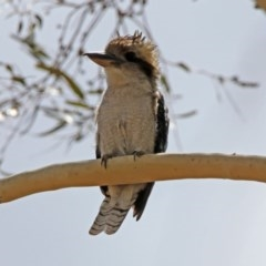 Dacelo novaeguineae (Laughing Kookaburra) at Gigerline Nature Reserve - 21 Jan 2020 by RodDeb