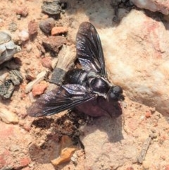 Pseudopenthes fenestrata (Window-winged bee fly) at Aranda Bushland - 18 Jan 2020 by CathB
