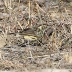 Pyrrholaemus sagittata (Speckled Warbler) at Gigerline Nature Reserve - 21 Jan 2020 by RodDeb