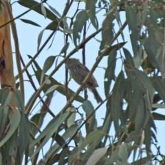 Acanthiza pusilla (Brown Thornbill) at Gigerline Nature Reserve - 21 Jan 2020 by RodDeb