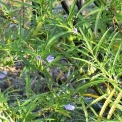 Solanum aviculare (Kangaroo Apple) at Coomee Nulunga Cultural Walking Track - 4 Sep 2019 by NicholasdeJong