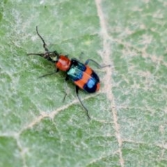 Dicranolaius bellulus (Red and Blue Pollen Beetle) at Holt, ACT - 11 Jan 2020 by AlisonMilton