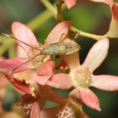 Amblypelta nitida (Fruit-spotting bug) at ANBG - 19 Jan 2020 by TimL