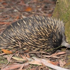 Tachyglossus aculeatus (Short-beaked Echidna) at ANBG - 19 Jan 2020 by Tim L