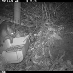 Trichosurus vulpecula (Common Brushtail Possum) at Bangalee Walking Track - 10 Jan 2020 by 2020Shoalhaven
