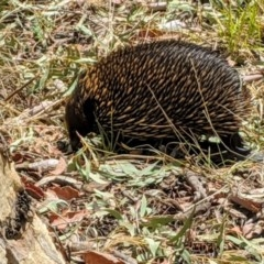 Tachyglossus aculeatus (Short-beaked Echidna) at Acton, ACT - 22 Jan 2020 by HelenCross