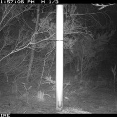 Trichosurus vulpecula (Common Brushtail Possum) at Bomaderry Creek Regional Park - 12 Jan 2020 by 2020Shoalhaven