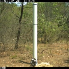 Cracticus tibicen (Australian Magpie) at Bomaderry Creek Regional Park - 10 Jan 2020 by 2020Shoalhaven
