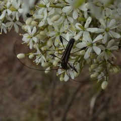Amphirhoe sp. (Amphirhoe longhorn beetle) at Brogo, NSW - 22 Jan 2020 by JackieMiles