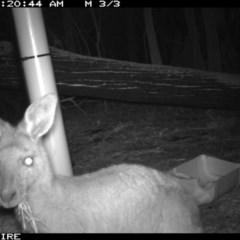 Macropus giganteus (Eastern Grey Kangaroo) at Kioloa, NSW - 9 Jan 2020 by 2020Shoalhaven