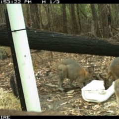 Macropus rufogriseus (Red-necked Wallaby) at Kioloa, NSW - 9 Jan 2020 by 2020Shoalhaven