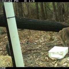 Oryctolagus cuniculus (Rabbit) at Kioloa, NSW - 10 Jan 2020 by 2020Shoalhaven
