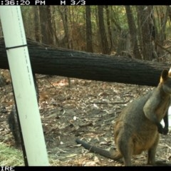 Wallabia bicolor (Swamp Wallaby) at Kioloa, NSW - 11 Jan 2020 by 2020Shoalhaven