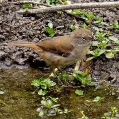 Sericornis frontalis (White-browed Scrubwren) at Brogo, NSW - 22 Jan 2020 by MaxCampbell